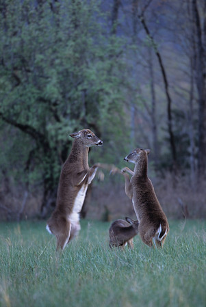 Buck Fighting