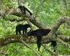 Black Bear Family