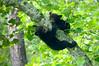Black Bear Cubs hanging in tree