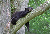 Black Bear Napping