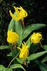 Trout Lilies