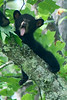 Black Bear Cub Yawning