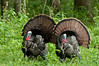 Wild Turkey Duo