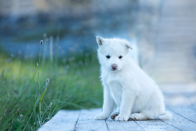 Cute sad white Greenlandish puppy sitting on a sidewalk.