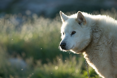 Beautiful white greenland sled dog in warm summer light.