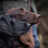 Flatcoated Retriever Open Field Trial Coughton-8