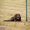 Gundog Club Level 1 & 2 Asessment Helen Phillips-11