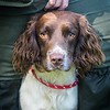 Bristol & West Spaniel Working Test Aug 5th 7Da-2