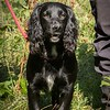 Bristol & West Spaniel Working Test Aug 5th 7Da-5