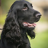 Field Spaniels Society Training Day 7D1-11