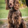 Field Spaniels Society Training Day 7D1-10