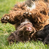 Field Spaniels Society Training Day 7D1-3