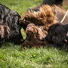 Field Spaniels Society Training Day 7D1-2