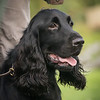 Field Spaniels Society Training Day 7D1-13