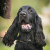 Field Spaniels Society Training Day 7D1-12