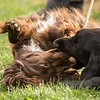 Field Spaniels Society Training Day 7D1-4