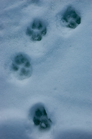 Wolf Tracks in Snow #1 - Brooks Range Mountains, Alaska