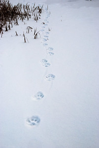 Lynx Tracks #2 - Brooks Range Mountains, Alaska