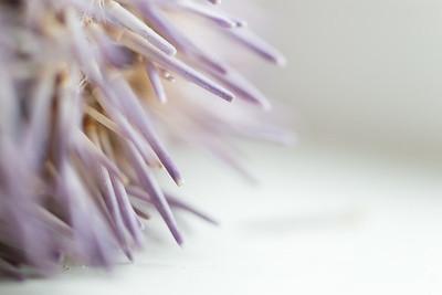 Mauve Anemone