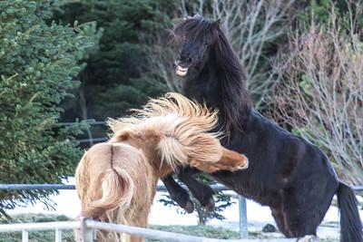 Playful Icelandic horses.