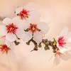 Yolo County Almond Blossom Bokeh 4