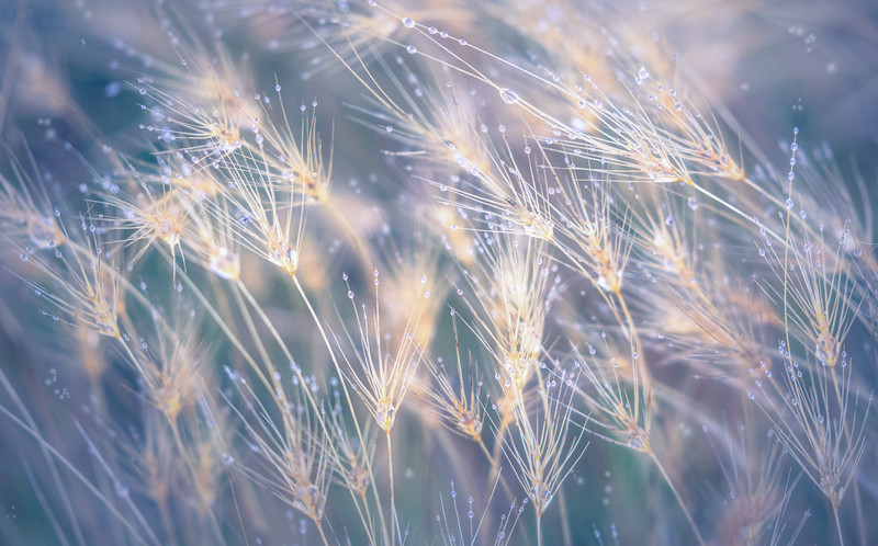 Dew Drop Grass 1