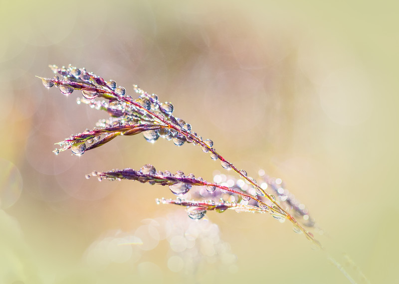 Dew Covered Grass Bokeh, Redwood NP