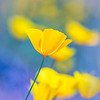 California Poppy Purple Bokeh