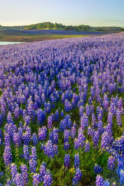 Purple Lupine Wide Angle View