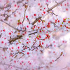 Sutter County Almond Blossom Bokeh 1