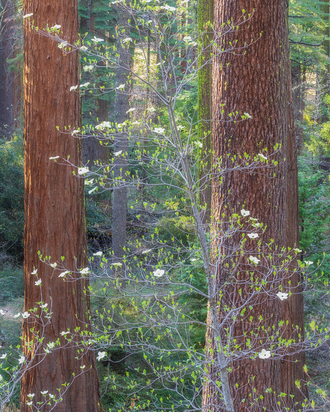Dogwoods and Redwoods 2, Calaveras Big Trees State Park
