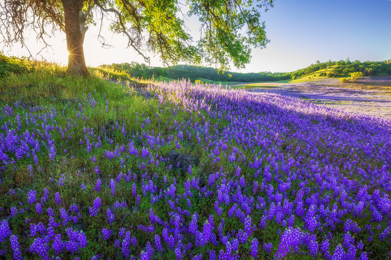 Lupine and Blue Oak Savanna Sunrise