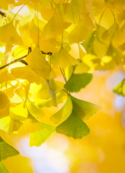 Golden Gingko Leaves