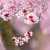 Flowering Plum Tree 2
