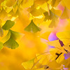 Autumn Gingko Bokeh