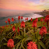 La Jolla Aloe Arborescens