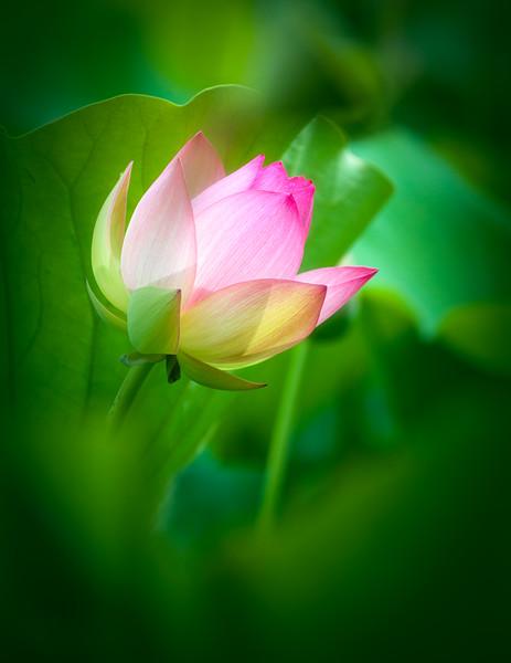 Green Bokeh and Lotus Flower