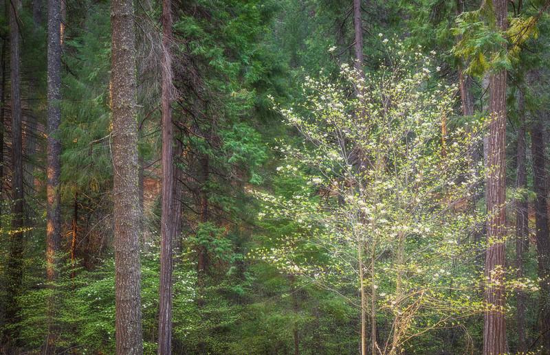 Spring Dogwood, El Dorado National Forest