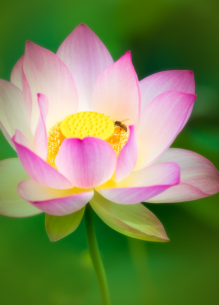 Bee Pollinating Water Lily