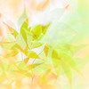 Japanese Maple Abstract