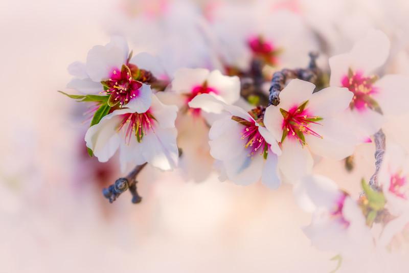 Yolo County Almond Blossom Bokeh 3