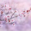 Sutter County Almond Blossom Bokeh 2