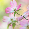 2020 Capitol Park Flowering Dogwood 3