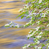 Merced River Dogwoods, Blue and Gold 4