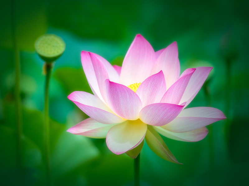 Water Lily Fanned Petals