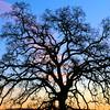 Folsom Oak