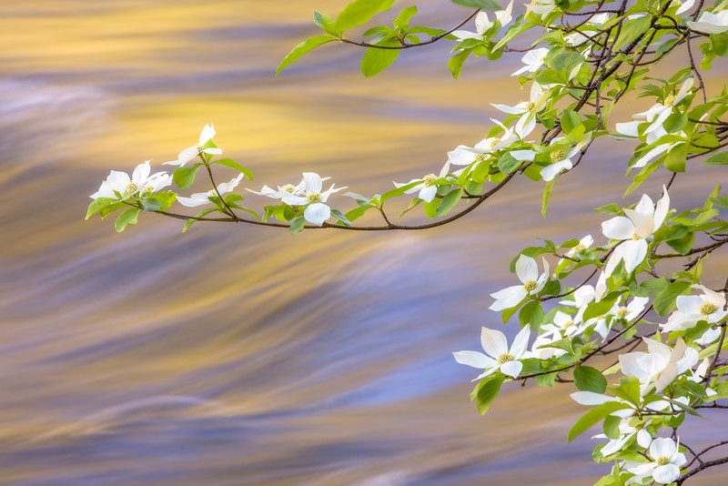 Merced River Dogwoods, Blue and Gold 3