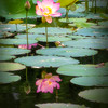Lotus Reflections