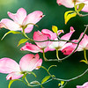 2020 Capitol Park Flowering Dogwood 1