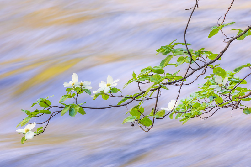 Merced River Dogwoods, Blue and Gold 2